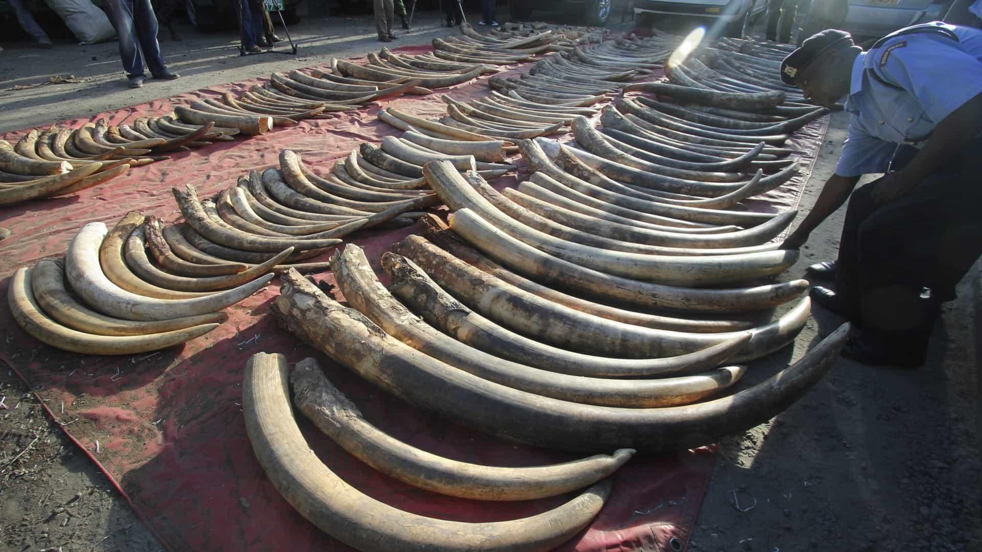 SIC apreende compradores de marfim